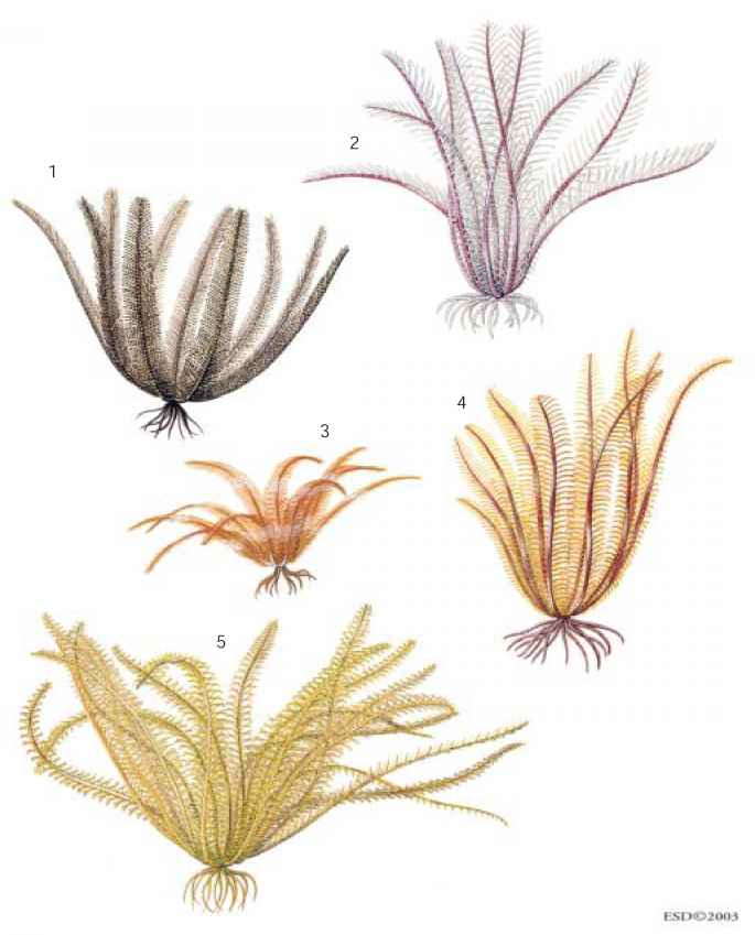 Crinoid Illustration