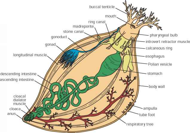 Anatomy of sea cucumber
