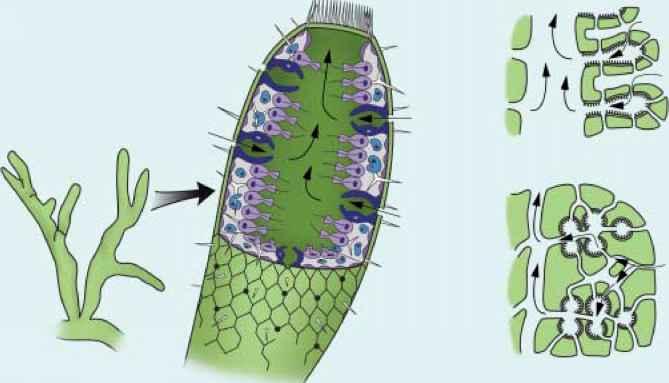 Calcareous sponges - Reproductive Biology - GUWS Medical
