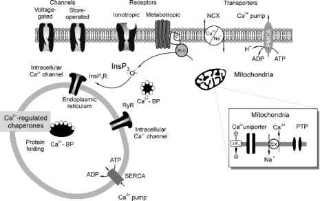 Calcium Homeostasis Channel