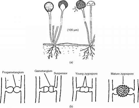 Asexual Reproduction Rhizoids